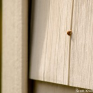 Ladybug hibernation