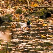 Oak leaves falling on Mallards
