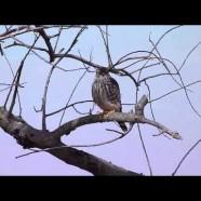 Merlin (Falco columbarius) HD video