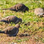 Mourning Dove flocks
