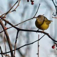 Nashville Warbler (Oreothlypis ruficapilla)