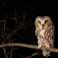 Northern Saw-whet Owl movement continues