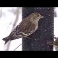Pine Siskins extremely close feeding in snow