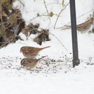 Swath of sparrows