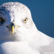 Ring-billed Gull in the low sun