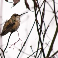 Rufous Hummingbird and vagrancy