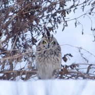 Winter raptor surveys with NYSDEC