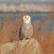 Snowy Owl sentinel