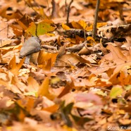 Tufted Titmouse digging in leaf litter