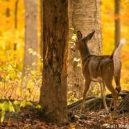White-tailed Deer name origin