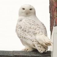 Snowy Owl in Erie, Pennsylvania by Michele Rundquist-Franz