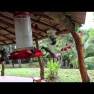 Swarm of hummingbirds! Costa Rica, December 2014