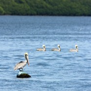 Brown Pelicans (Pelecanus occidentalis) Costa Rica