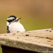 Downy Woodpecker Peeking