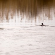 Hooded Merganser leaving a wake
