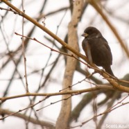 Melanistic House Sparrow (Passer domesticus)