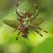 Orb Weaver Spider (Argiope savignyi)