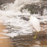 Snowy Egret in December