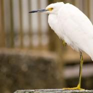 Snowy Egret Handouts?