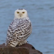 Snowy Owl in Dunkirk, New York
