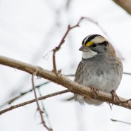 Spring-like White-throated Sparrow