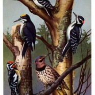 Woodpeckers of Newfoundland