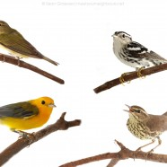 The Four MoSI Warblers