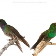 Four Costa Rican Hummingbirds
