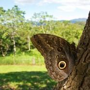 Giant Owl Butterfly (Caligo telamonius memnon)