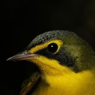 Kentucky Warbler Recapture and Cabo Blanco Birds