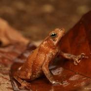 Leaf-litter Toads (Rhinella alata)