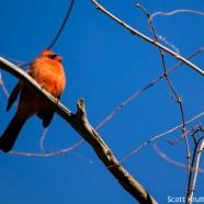 Cardinal in Low Winter Sun