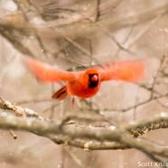 Male Cardinal Liftoff