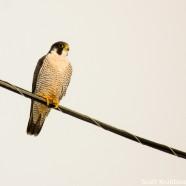 Peregrine Falcon on Wire