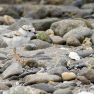 Piping Plover Record Setting Success