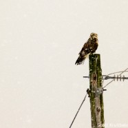 Rough-legged Hawks Irrupting