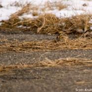 Savannah Sparrows Eating Driveway Grass