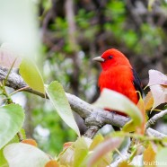 Scarlet Tanager Male for National Bird Day