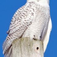 Throwback Thursday – Snowy Owl