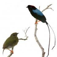 Long-tailed Manakin (Chiroxiphia linearis) Pair