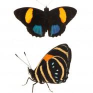 Aegina numberwing (Callicore lyca)