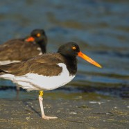 Banded American Oystercatcher Discovered