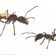 Bullet Ants (Paraponera clavata)