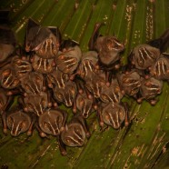 Common Tent-making Bats (Uroderma bilobatum)