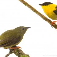 Golden-collared Manakins (Manacus vitellinus)