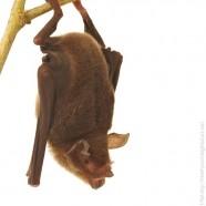 Greater Mastiff Bats (Eumops perotis)