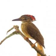 Royal Flycatcher (Onychorhynchus coronatus)