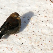 Rusty Blackbird Blitz 2016