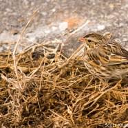 Savannah Sparrow Up Close
