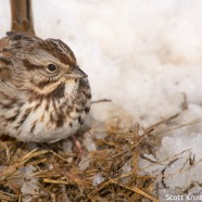 Song Sparrow Up Close